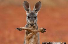 Кенгуру животное. Образ жизни и среда обитания кенгуру