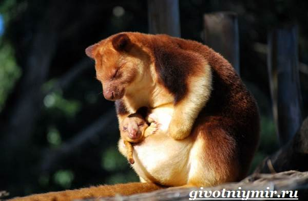 Кенгуру-животное-Образ-жизни-и-среда-обитания-кенгуру-4