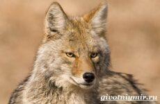 Койот животное. Образ жизни и среда обитания койота