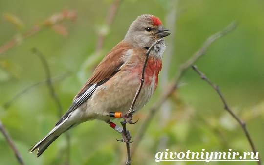 Коноплянка-птица-Образ-жизни-и-среда-обитания-коноплянки-1