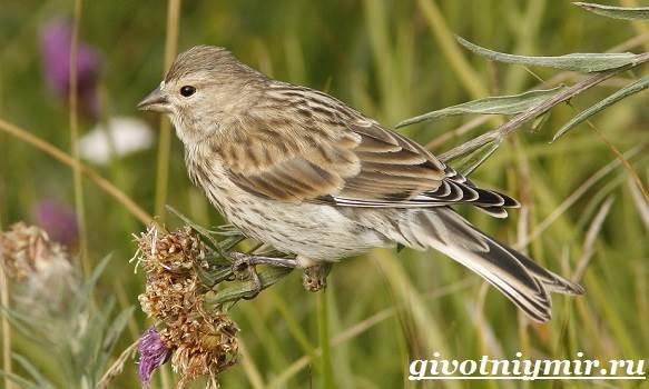 Коноплянка-птица-Образ-жизни-и-среда-обитания-коноплянки-2