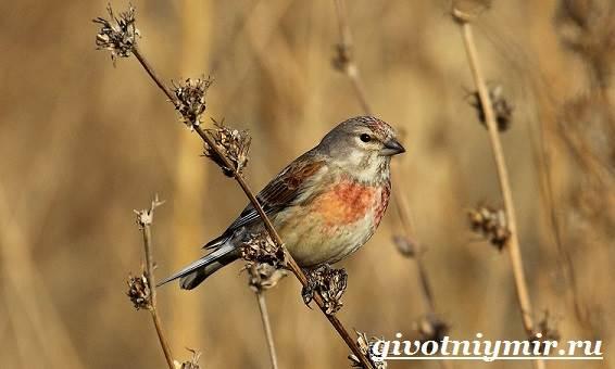 Коноплянка-птица-Образ-жизни-и-среда-обитания-коноплянки-5