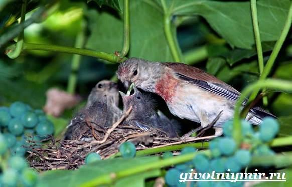 Коноплянка-птица-Образ-жизни-и-среда-обитания-коноплянки-8
