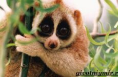 Лемур Лори животное. Образ жизни и среда обитания лемура Лори