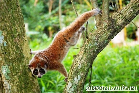 Лемур-Лори-животное-Образ-жизни-и-среда-обитания-лемура-Лори-7