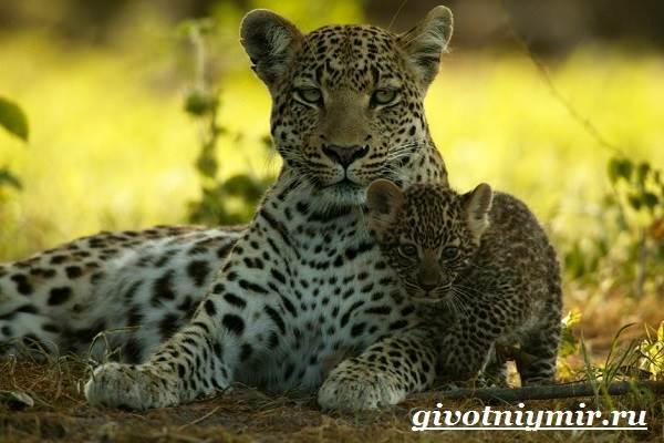 Леопард-животное-Образ-жизни-и-среда-обитания-леопарда-11