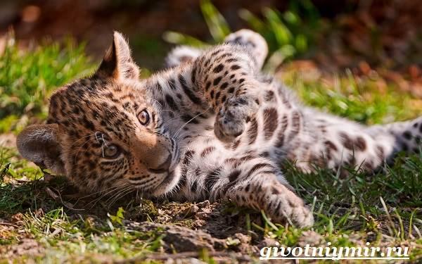 Леопард-животное-Образ-жизни-и-среда-обитания-леопарда-12
