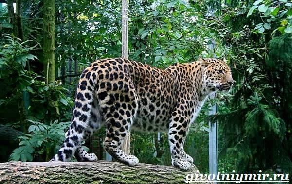 Леопард-животное-Образ-жизни-и-среда-обитания-леопарда-2