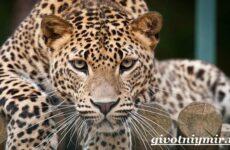 Леопард животное. Образ жизни и среда обитания леопарда