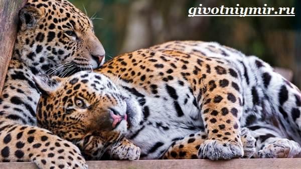 Леопард-животное-Образ-жизни-и-среда-обитания-леопарда-4