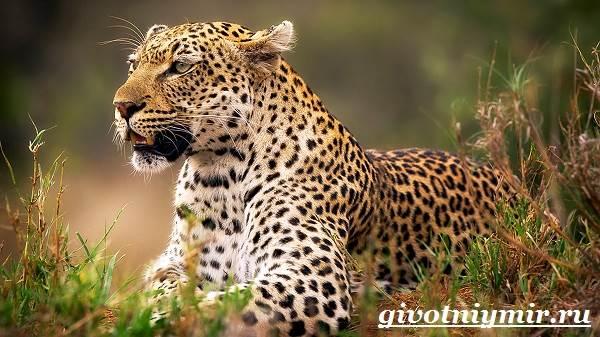 Леопард-животное-Образ-жизни-и-среда-обитания-леопарда-5