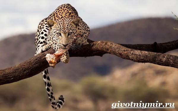 Леопард-животное-Образ-жизни-и-среда-обитания-леопарда-6