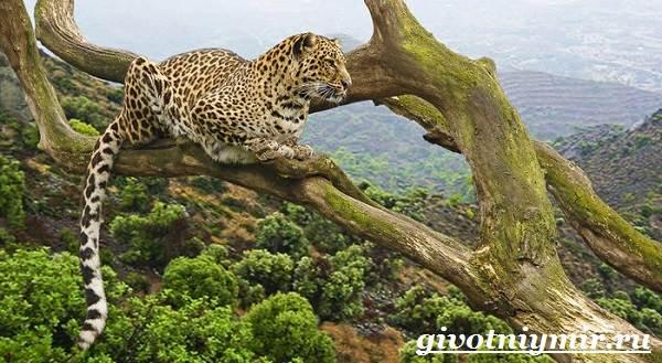 Леопард-животное-Образ-жизни-и-среда-обитания-леопарда-9