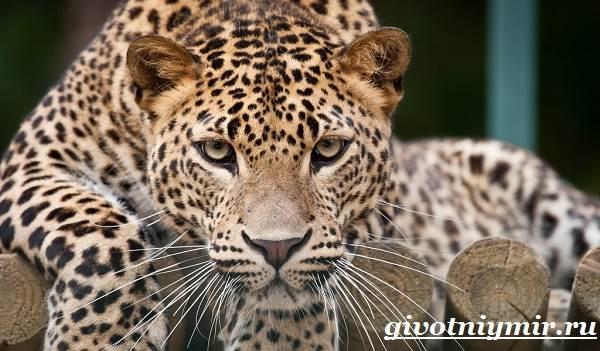 Леопард-животное-Образ-жизни-и-среда-обитания-леопарда-1