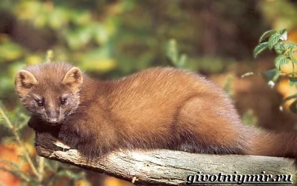 Лесная-куница-Образ-жизни-и-среда-обитания-лесной-куницы-1
