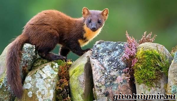 Лесная-куница-Образ-жизни-и-среда-обитания-лесной-куницы-3