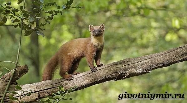 Лесная-куница-Образ-жизни-и-среда-обитания-лесной-куницы-4