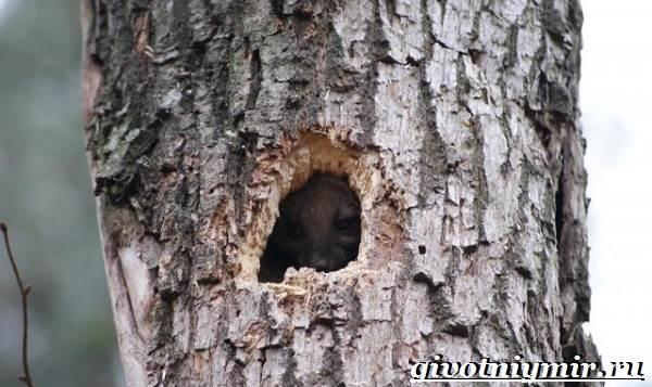 Лесная-куница-Образ-жизни-и-среда-обитания-лесной-куницы-5