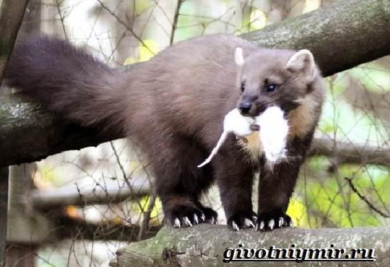Лесная-куница-Образ-жизни-и-среда-обитания-лесной-куницы-6