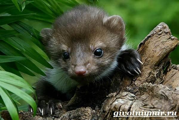 Лесная-куница-Образ-жизни-и-среда-обитания-лесной-куницы-7
