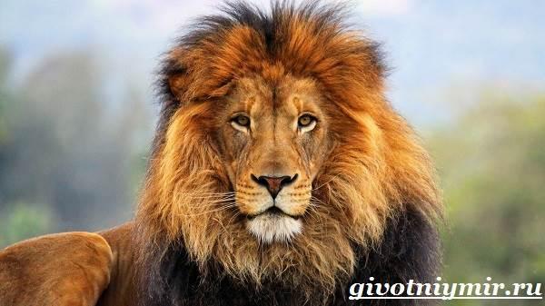 Реферат про животных львов 1665