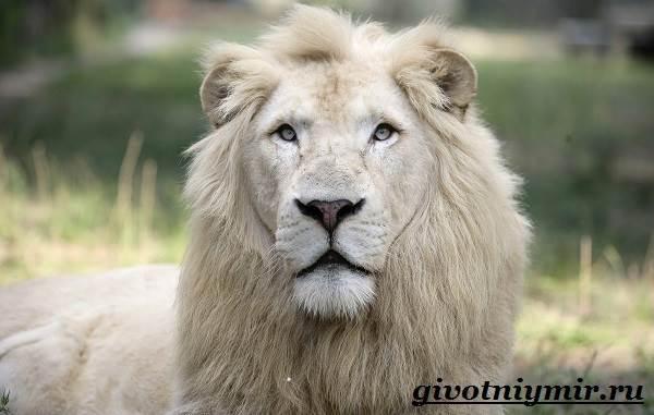 Лев-животное-Образ-жизни-и-среда-обитания-льва-5