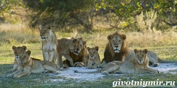 Лев-животное-Образ-жизни-и-среда-обитания-льва-6