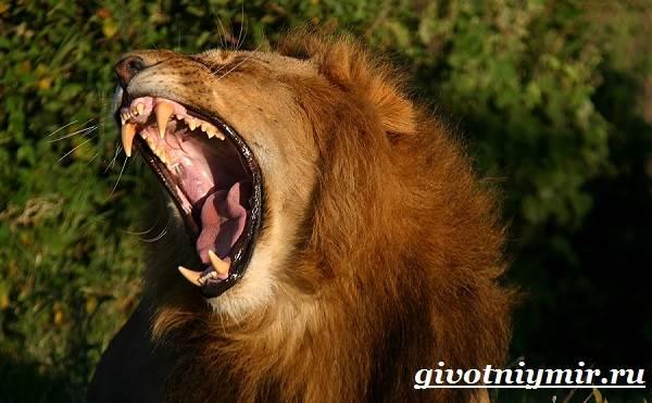 Лев-животное-Образ-жизни-и-среда-обитания-льва-9