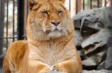 Лигр животное. Образ жизни и среда обитания лигра