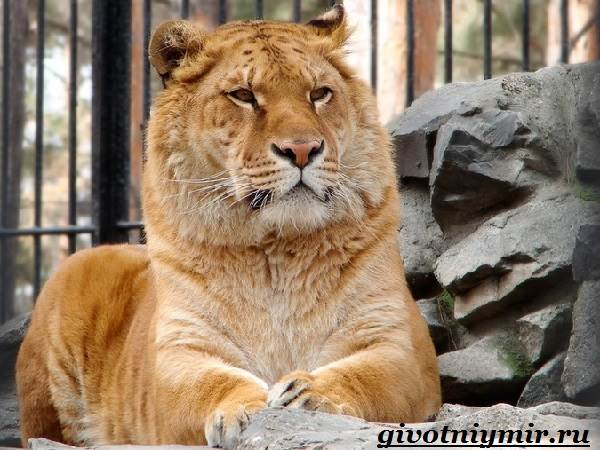 Лигр-животное-Образ-жизни-и-среда-обитания-лигра-1