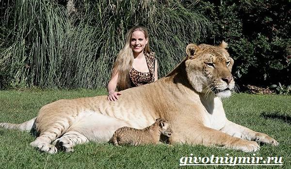 Лигр-животное-Образ-жизни-и-среда-обитания-лигра-2