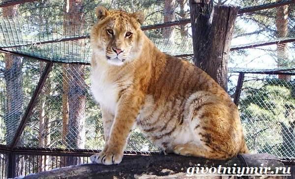 Лигр-животное-Образ-жизни-и-среда-обитания-лигра-3