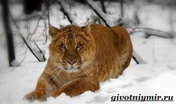 Лигр-животное-Образ-жизни-и-среда-обитания-лигра-4
