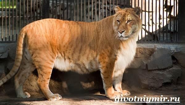 Лигр-животное-Образ-жизни-и-среда-обитания-лигра-5