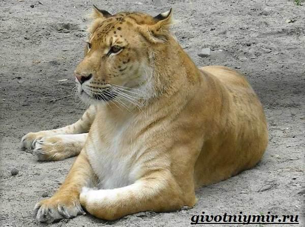 Лигр-животное-Образ-жизни-и-среда-обитания-лигра-8