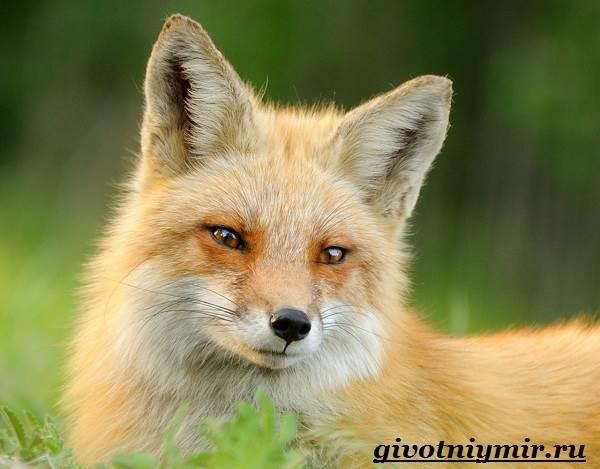 Лиса-животное-Образ-жизни-и-среда-обитания-лисы-1