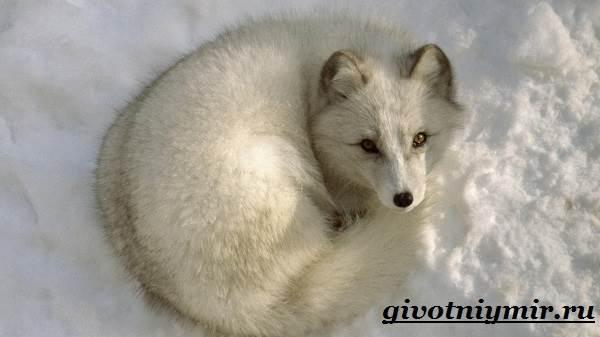 Лиса-животное-Образ-жизни-и-среда-обитания-лисы-10