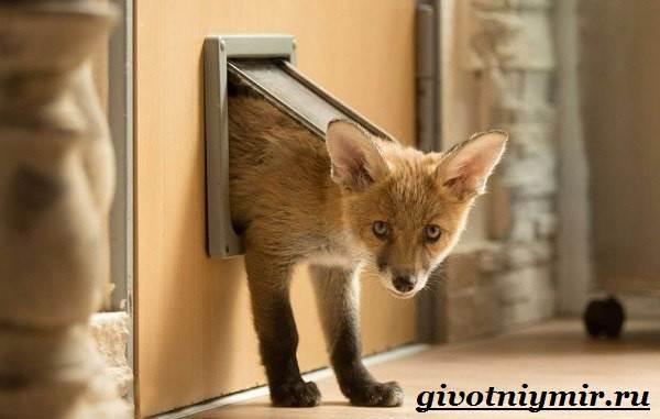 Лиса-животное-Образ-жизни-и-среда-обитания-лисы-11