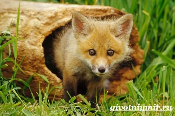 Лиса-животное-Образ-жизни-и-среда-обитания-лисы-12
