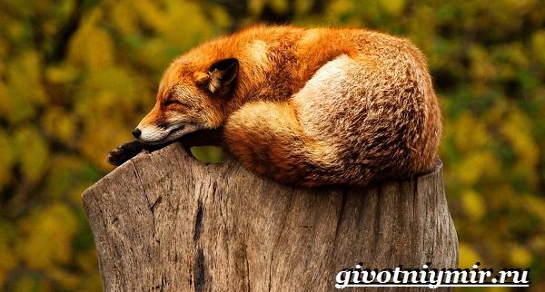 Лиса-животное-Образ-жизни-и-среда-обитания-лисы-15