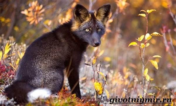 Лиса-животное-Образ-жизни-и-среда-обитания-лисы-3