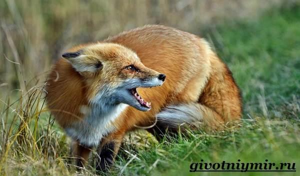 Лиса-животное-Образ-жизни-и-среда-обитания-лисы-4