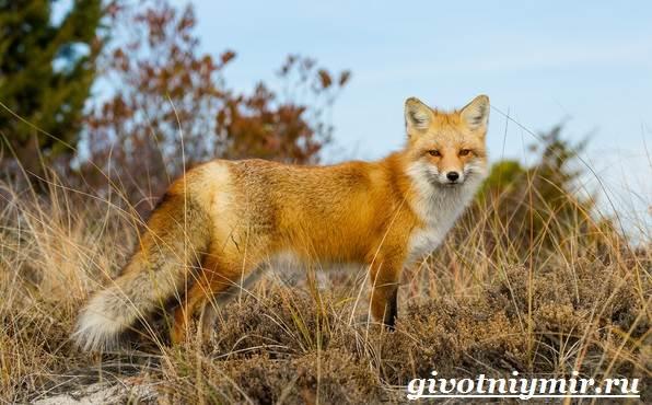Лиса-животное-Образ-жизни-и-среда-обитания-лисы-5