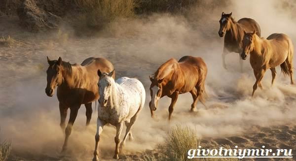 Лошадь-мустанг-Образ-жизни-и-среда-обитания-мустангов-4
