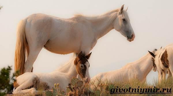 Лошадь-мустанг-Образ-жизни-и-среда-обитания-мустангов-5