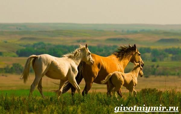 Лошадь-мустанг-Образ-жизни-и-среда-обитания-мустангов-7
