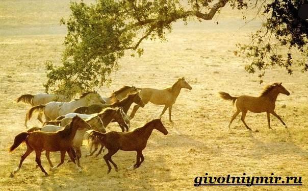 Лошадь-мустанг-Образ-жизни-и-среда-обитания-мустангов-8