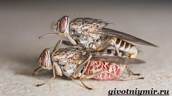 Муха-Цеце-насекомое-Образ-жизни-и-среда-обитания-мухи-цеце-5