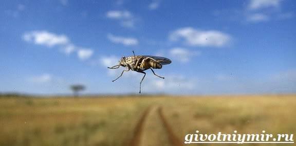 Муха-Цеце-насекомое-Образ-жизни-и-среда-обитания-мухи-цеце-6