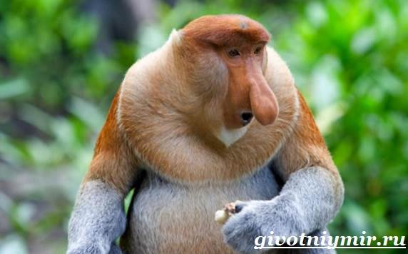 Носач-обезьяна-Образ-жизни-и-среда-обитания-носача-1